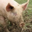 Farm animal - pig — Stockfoto