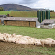 Pigs on a farm - Stock Photo