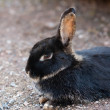 Farm animal - rabbit - Stock Photo