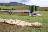 Pigs on a farm — Stock Photo