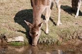 若い鹿飲み物水 — ストック写真