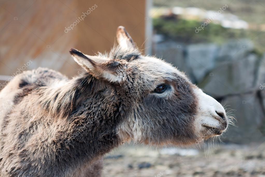 农场动物-驴用微笑和周到的表达式