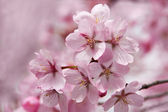 Cherry flowers in spring time — Stock Photo