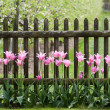Pink tulips at garden fence — Stock Photo