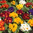 Assorted Primrose flowers — Stock Photo
