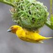 Golden palm weaver bird and its new next — Stock Photo