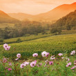 Stock Photo: Sunset over vineyard valley