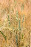 Ripe barley field — Stock Photo