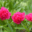 Stock Photo: Red peony flower