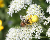 Goldenrod crab spider captures a bee — Stock Photo