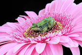 Baby frog on flower — Stock Photo