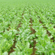 Sugar beet field — Stock Photo #18876351
