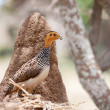 African bird: Coqui Francolin - Stock Photo