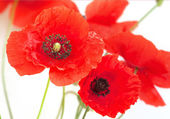 Scarlet Poppy flowers — Stock Photo