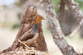 African bird: Coqui Francolin — Stock Photo