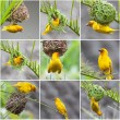 Golden Palm Weaver Birds collage - Stock Photo