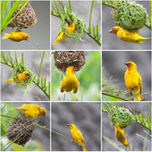 Golden Palm Weaver Birds collage — Stock Photo