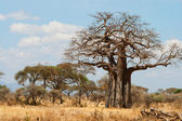 African Baobab Trees — Stock Photo
