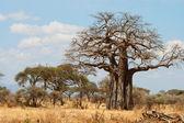 African Baobab Trees — Stock Photo