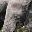 Closeup of an African elephant - Stock Photo