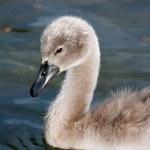 Baby swan — Stock Photo #21458091