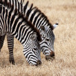Two zebras grazing in Serengeti National Park - Stock Photo