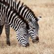 dos cebras pastando en el Parque Nacional del serengeti — Foto de Stock   #23061520