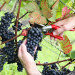 Hand cutting grape Pinot noir in harvest time - Stock Photo