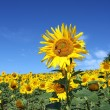An outstanding sunflower from the sunflower field — Stock Photo