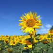 Outstanding sunflower from sunflower field — Stock Photo #24771079