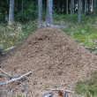 Anthill in the forest — Stock Photo