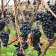 Grapes for making ice wine — Stock Photo