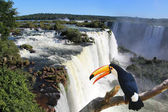 Giant toucan bird in front of Iguazu waterfalls — Stock fotografie
