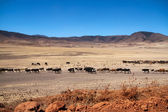 Cow cattle of Masai tribe on the dry land of Tanzania — Stock Photo