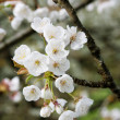 White cherry flower in orchard garden — Stock Photo