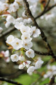 White cherry flower in orchard garden — Foto Stock