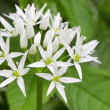 Flowering wild garlic in the forest — Stock Photo