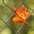 A fallen autumn leaf — Stock Photo