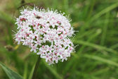 Alpen flora: Valeriana montana — Stock Photo