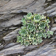 Alpine Flora - Sempervivum on rocks — Stock Photo
