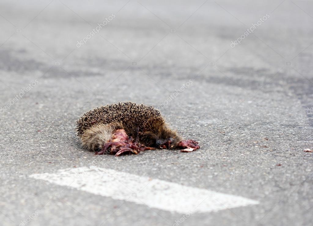 Hérisson s'est écrasé par des véhicules sur l'autoroute