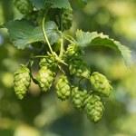Hop cones on the hop plantation — Stock Photo #31917175
