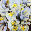 Stock Photo: Dutch miniature light blue iris