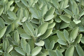 Spice plant: sage in vegetable garden — Stock Photo