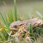 Skinny frog after winter hibernation — Stock Photo
