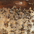 Bees on the honeycomb — Foto Stock