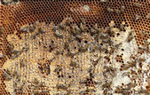 Bees on the honeycomb — Stock Photo