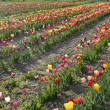 Springtime at Tulip Farm Field — Stock Photo
