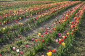Springtime at Tulip Farm Field — Stock Photo