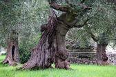 Giant olive tree — Foto de Stock